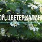 Ой, цветет калина — оригинал и переделки песни