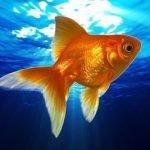 Золотая рыбка — сценка на юбилей